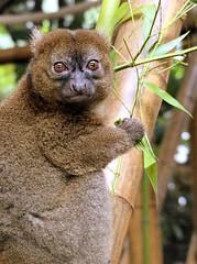 Grand Happalémur (Raymonde Contensous) Tags: grandhappalémur primate lémurien masagascar parczoologiquedeparis zoodevincennes fabuleuse