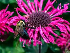 Bee on a Flower (Shawn Blanchard) Tags: bee flower pink yellow black jc raulston arboretum raleigh nc north carolina