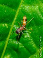 I'm not your ant... (umijin) Tags: antmimicspider araneae arthropoda chelicerata guahan guam jumpingspider mangilao territoryofguam usa animal arthropod chelicerate mmicry myrmecomorphicspider myrmecomorphy spider