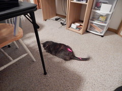 DSCN3253 (mestes76) Tags: 100617 duluth minnesota cats pets fetty fettucini cattoys laserpointer playing