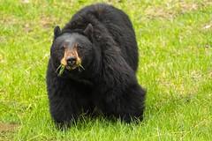 Looky here (ChicagoBob46) Tags: blackbear bear sow yellowstone yellowstonenationalpark nature wildlife hi coth5 ngc npc