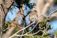 Brewer's Sparrow (Dick Latuchie) Tags: animal birding birds brewerssparrow location newmexico northamerica organisms unitedstates santafe us