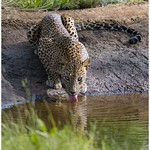 Sri Lankan Leopard thumbnail