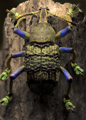 Bucket List #14 (masquerade81) Tags: bug eupholus insect linnei macro nature weevil animal beetle closeup dead detail extreme focusstack panorama