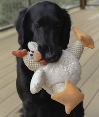 Don't ask me to give up Chicken Guy (kfpsardou) Tags: dog toy