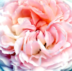 Velvet Touch (barbara_donders) Tags: natuur nature summer zomer bloem flower petals bloemblaadjes silky zijden pink roze macro beautiful magical mooi prachtig
