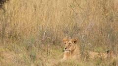 Relaxed, but ears still perked up (Nagarjun) Tags: lioness nairobinationalpark kenya eastafrica wildlife carnivore bigcat bigfive female safari gamedrive