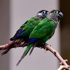 Green-Cheeked Conures (R.A. Killmer) Tags: greencheeked conure bird avian aviary kingdom niagara falls canada green beauty feathers feather fly beak