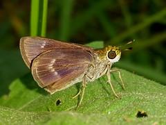 Little Glassywing (rstickney37) Tags: hesperiidae skipper northcarolinabutterflies