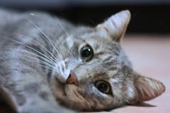 Il mio tigrotto (smenega) Tags: cat gatto micio gattaccio tigrato europeancat tigrotto