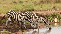Company (Nagarjun) Tags: zebra blackandwhite plainszebra equusburchellii nairobinationalpark kenya animal wildlife fauna safari gamedrive lake waterbody
