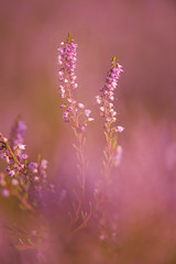 Ling heather (Benjamin Joseph Andrew) Tags: heath heathland flowering pink colourful summer growing vibrant lowland