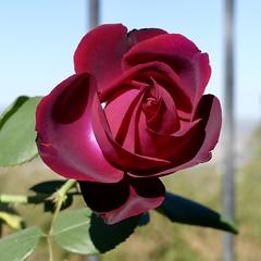 Dark Desire Perfume Rose (Ramona Pioneer Girl) Tags: fragrant ramonacalifornia california eastsandiegocounty gardening inexplore darkred perfect redrose flower rose perfumerose darkdesire gardeningincalifornia gardeninginsoutherncalifornia