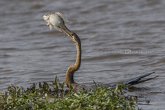 Afrikaanse slangenhalsvogel - Anhinga rufa (rinus64) Tags: afrikaanseslangenhalsvogel anhingarufa krugernationalpark d500 nikon southafrica zuidafrika