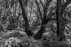 maizerets 38a (Agirard) Tags: forest bush trees vintage lens takumar 50mm f14 sony a7ii quebec canada domaine maizerets bw nb blackwhite noirblanc paysage landscape
