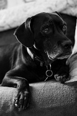 Droopy, the real one (QuentinDafox) Tags: dog retriever eyes bw portrait fandji nifty50