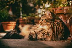 ^-^ (_elusive_mind_) Tags: cat mainecoon katze sunlight light animals