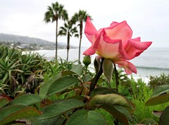 """I never promised you a rose garden....."" (Bennilover) Tags: palms palmtrees beach lagunabeach rose roses pink leaves bluff foggy morning early 700am garden rosegarden mainbeachlaguna"