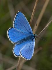 Adonis Blue (Lysandra bellargus) ♂. (od0man) Tags: adonisblue lysandrabellargus lycaenidae lepidoptera insect butterfly blue macro macrolife canonef100mmf28lisusmmacro pewseydownsnnr aonb wiltshire uk chalkgrassland