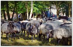 Heidschnucken (Don111 Spangemacher) Tags: heidekreis heide heidschnucken schafe schneverdingen parkplatz heidegarten baum reisen romantik urlaub lüneburgerheide niedersachsen natur naturschutzgebiet norddeutschland naturpark