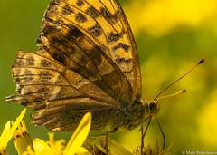 Keisarinviitta (Argynnis paphia), Silver-washed fritillary (NI5A4972LR) (pohjoma) Tags: hopeatäplä hyönteinen hyönteiset keisarinviitta perhonen päiväperhonen canoneos5dmarkiv finland canonef100mmf28lmacroisusm butterfly insect nature fjäril kaisermantel schmetterling backlight vastavalo wings argynnispaphia silverwashedfritillary pollination