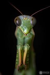 Mantis religiosa (Dreamtime Nature Photography) Tags: mantisreligiosa mantis mante gignac france hérault animalia arthropoda insecta mantodea mantidea macro canon diffuser dreamtimenaturephotography nature