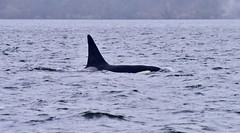T19C (sjr627) Tags: transient killer whales orcas biggs t18s southern gulf islands