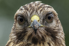 You lookin at me? (*Ranger*) Tags: nikond3300 nature wildlife raptor birdofprey bird hawk edgarevinsstatepark tennessee usa