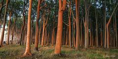 Ghost forest (Klaus Kehrls) Tags: gespensterwald nienhagen ostsee sonnenuntergang wald bäume natur landschaft
