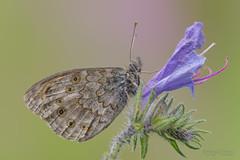 Lasiommata Maera (mauro.santucci) Tags: lasiommatamaera nymphalidae farfalle butterfly lepidotteri insetti macro ncg
