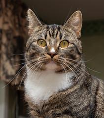 Findus (totheforest) Tags: nikond7200 luleå norrbotten sweden cat katt kattunge kitten