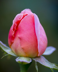 Pink Bud (s.d.sea) Tags: rose roses petals petal flower flowers blossom bloom garden summer grow nature pnw pacificnorthwest issaquah klahanie pentax k5iis 120mm macro washington washingtonstate