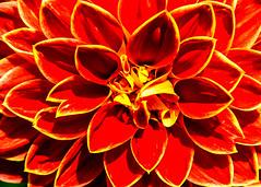 Dahlie (hermelin52) Tags: deutschland germany nrw essen stadtessen gruga grugapark dahlien nahaufnahme makro pflanzen flora blüte blütenpflanze zierplanze garten gartenpflanze