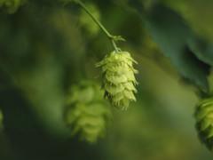 hops flower (Johnson Cameraface) Tags: 2018 august summer olympus omde1 em1 micro43 meyeroptikgorlitzoreston 50mm m42 f18 manualfocus johnsoncameraface hops green flower