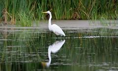 Great Egret - 6-1 (tevfikyildiz) Tags: greategret bird birds oiseau oiseaux kuş kuslar 150600mm