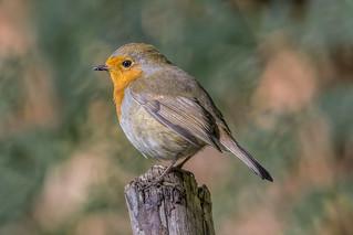 Robin Aug 2018