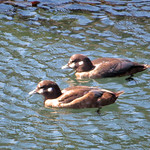Harlequin Duck_female thumbnail