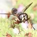 Thick-headed Fly - Physocephala marginata, Meadowood Farm SRMA, Mason Neck, Virginia