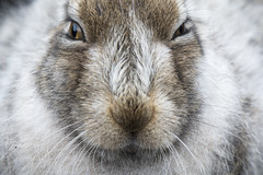 MOUNTAIN HARE (Neil Shaw Images) Tags: