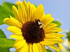 Sonnig / Sunny # 2 (schreibtnix on 'n off) Tags: deutschland germany bergischgladbach natur nature tiere animals insekten insects erdhummel bufftailedbumblebee bombusterrestris pflanzen plants blumen flowers blüte blossom gelb yellow nahaufnahme closeup sonnig sunny olympuse5 schreibtnix