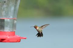 IMG_0604 (davekremitzki) Tags: hummingbird beaver dam illinois