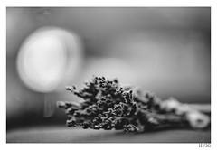 Art (Aljaž Anžič Tuna) Tags: art lavander light abstract photo365 project365 onephotoaday onceaday 365 35mm 365challenge 365project nikond800 nikkor nice naturallight nature nikon nikon105mmf28 105mmf28 f28 d800 dailyphoto day dof aroma bw blackandwhite black white blackwhite beautiful