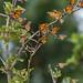 Butterflies, Monarch