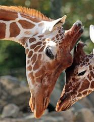 reticulated giraffe artis JN6A5972 (j.a.kok) Tags: giraffe giraffacamelopardalisreticulata giraffacamelopardalis netgiraffe giraf reticulatedgiraffe animal artis africa afrika mammal herbivore zoogdier dier hoefdier