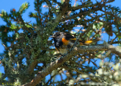 American Redstart (scott_clark) Tags: canada novascotia brierisland americanredstart setophagaruticilla warbler bird animal wildlife nature forest