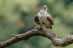 Osprey (Mike Veltri) Tags: osprey birds avian fish perch wild ontario canada