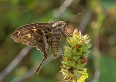 F60628-Dorantes longtail (Urbanus dorantes) (DJHiker) Tags: colombia vlinder hesperiidae