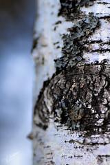 Worse than it's Bite (Vanessa wuz Here) Tags: 90mm macro devoniangarden devon universityofalbertabotanicalgarden birch tree treebark macrofriday texture alberta 7dwf