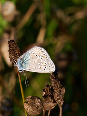 azuré de la bugrane (polyommatus icarus) (pierre.pruvot2) Tags: france insectes oyeplage pasdecalais platierdoye gx80 butterfly insect