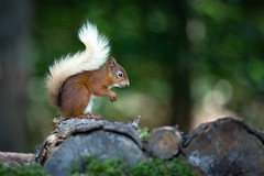 Blondie. (beverleythain) Tags: pines woods logs animal nuts claws environment natural trees tail brush beautiful nature wildlife forrest scotland native fur redsquirrel